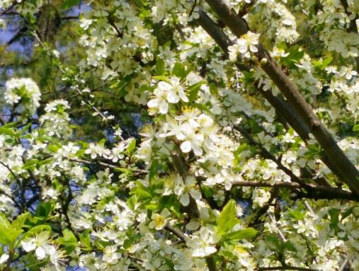 Strom v kvete_Martha Bielska